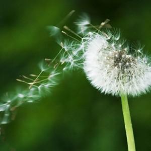 il fiore maturo