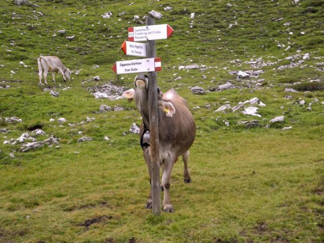 Mucca-trekking-Cristo-Pensante