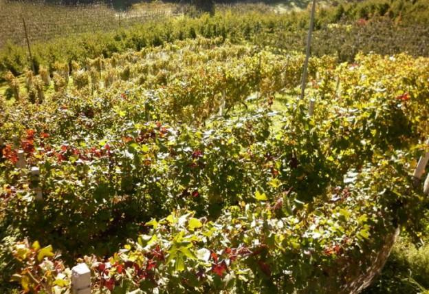 Non solo mele in Valdinon ma anche un ottimo vino vi aspetta.