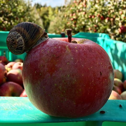gustosa questa mele rossa