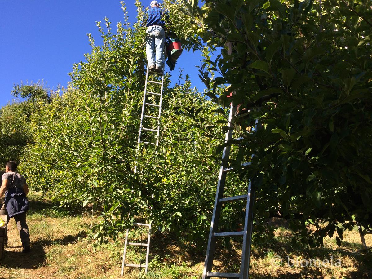 Val di Non, la raccolta delle mele