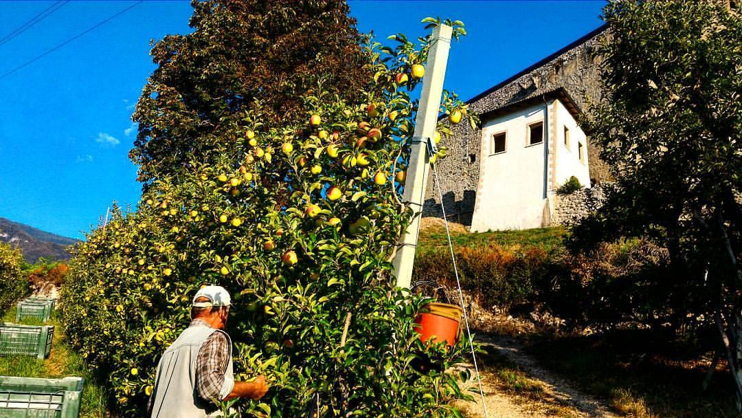 raccolta delle mele in val di non