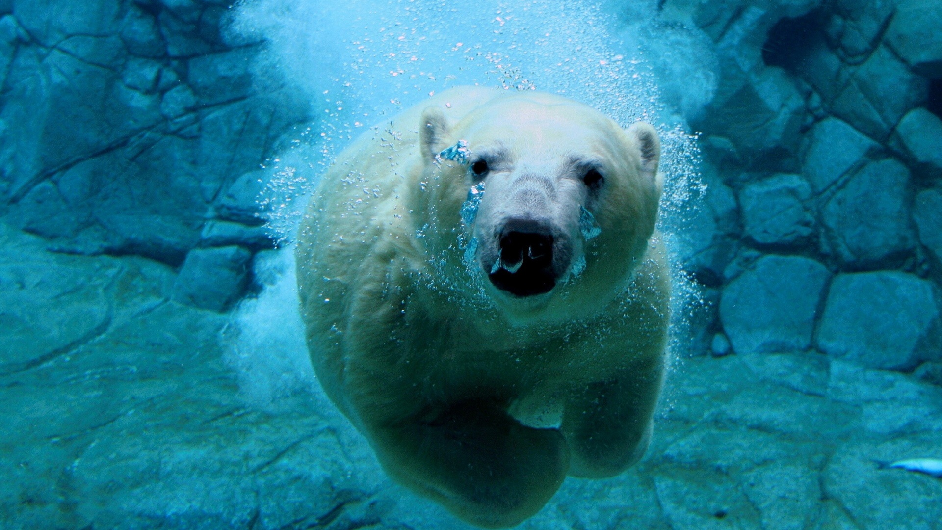 orso_bianco_sott_acqua