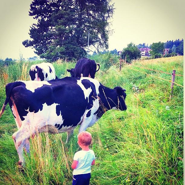 malga, mungitura, mucca, montanga