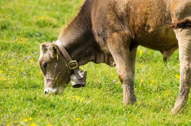 Mucche al pascolo ad #albeinmalga