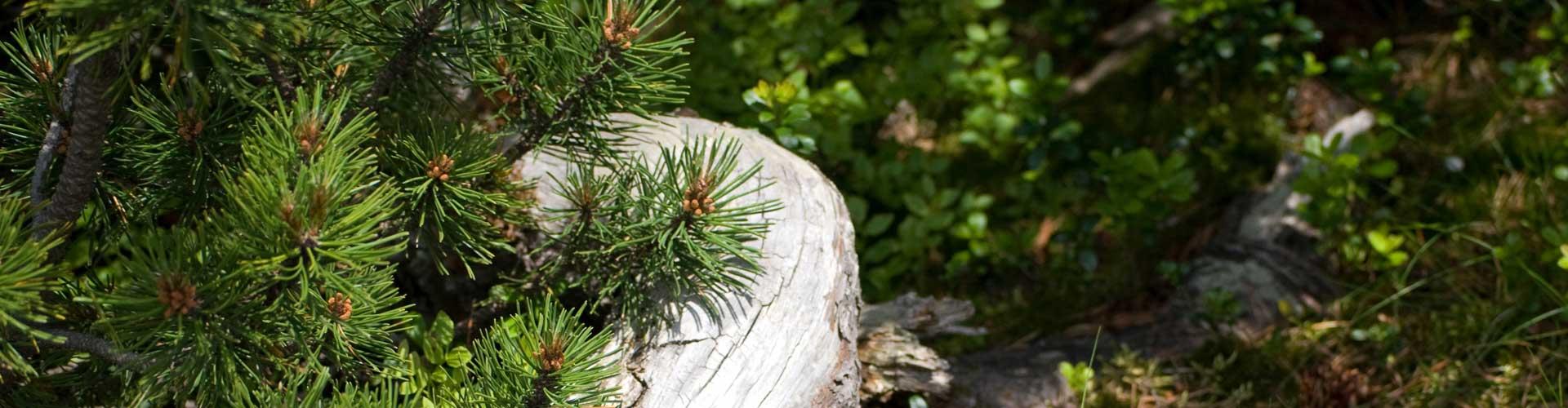 Il pino cembro