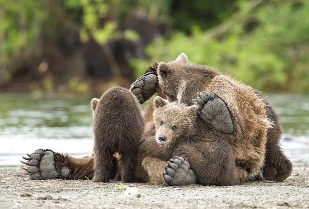 mamma con cuccioli orso in trentino