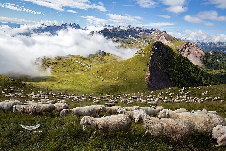 Dal pendio del Monte Peller il gregge domina sulla mitica Val Nana e malga Tasula! By MendiniMauro