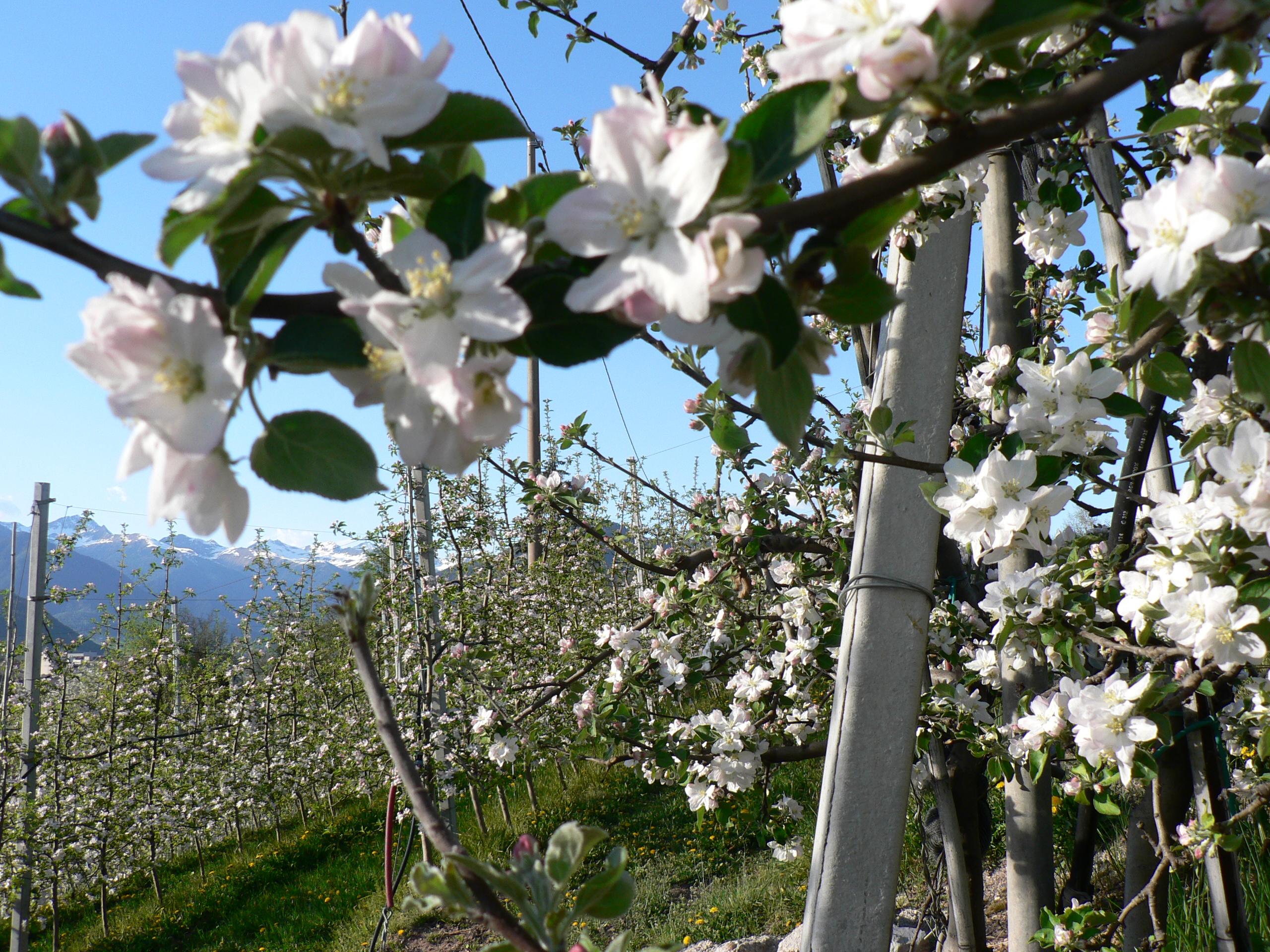 Foto della fioritura dei meli (immagini Archivio Pineta - famiglia Sicher)