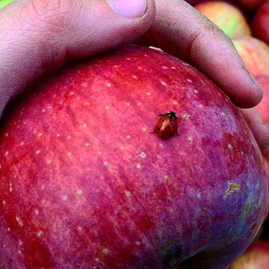 le nostre mele piacciono a tutti