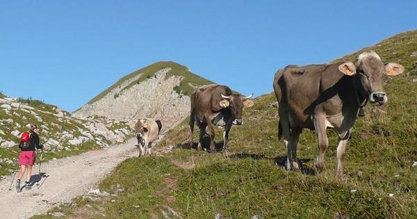 sentiero con mucche adamello brenta