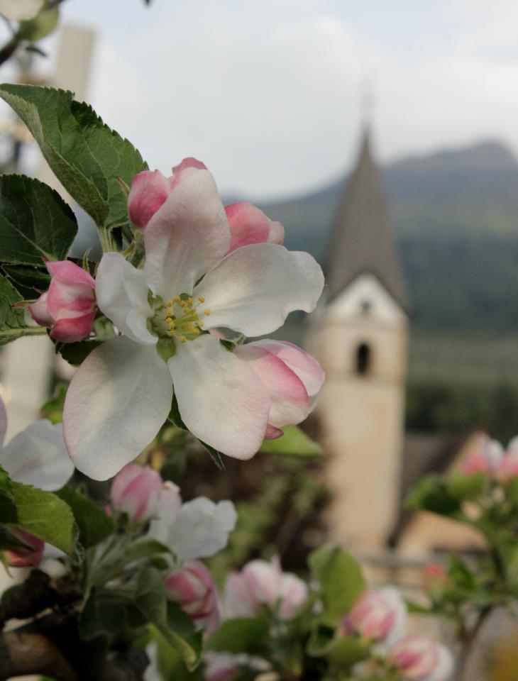 Fiori di melo passeggiando in primavera in val di non
