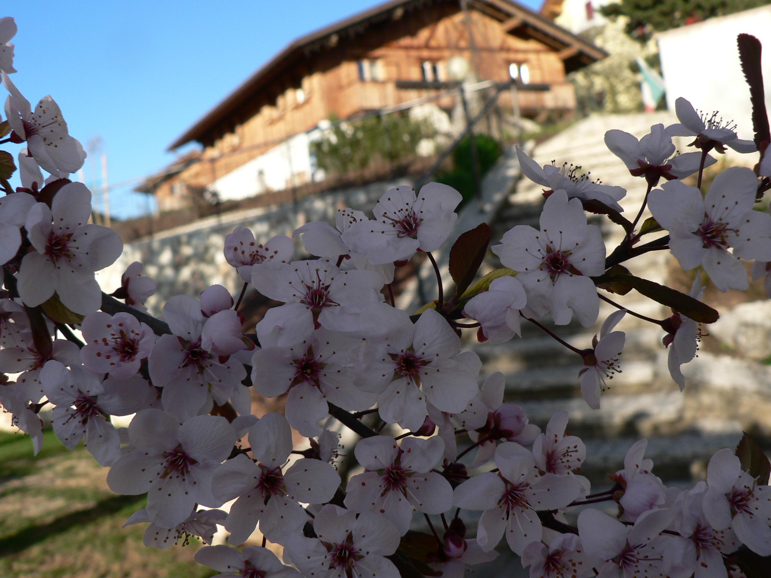Fiori di prugno nel nostro giardino segnano l'inizio della primavera