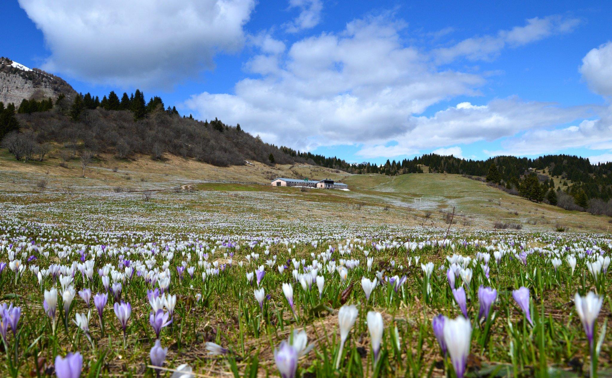 Andar per malghe in primavera tra le fioriture alpine