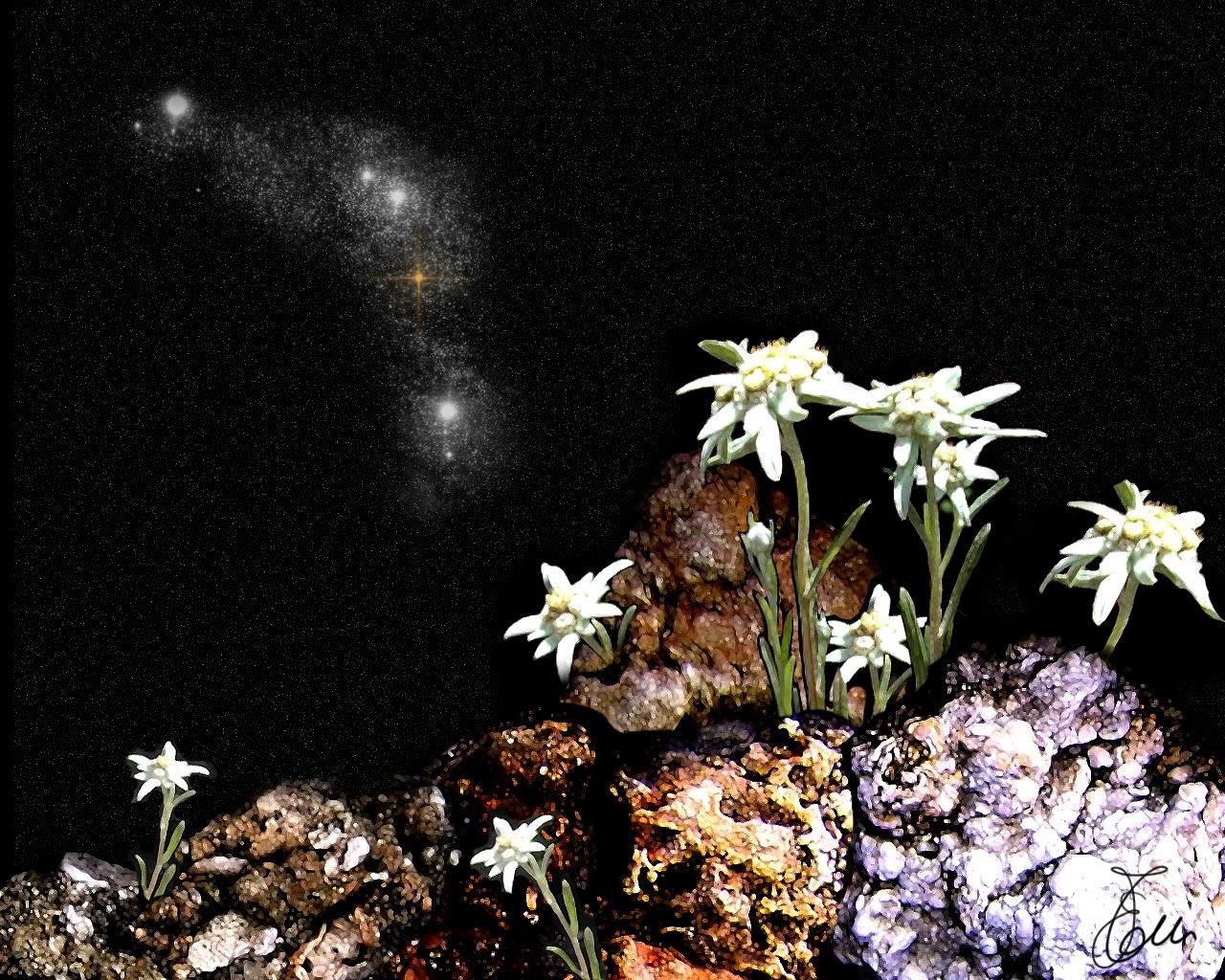 Edelweiss in versione notturna... un richiamo alla nostra leggenda delle Dolomiti (wallpapersbyeleonora.blogspot)