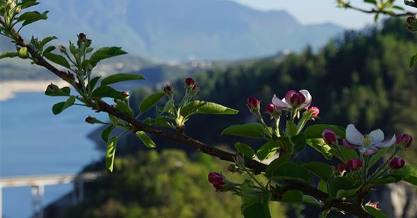 Meleti in fiore in Val di Non