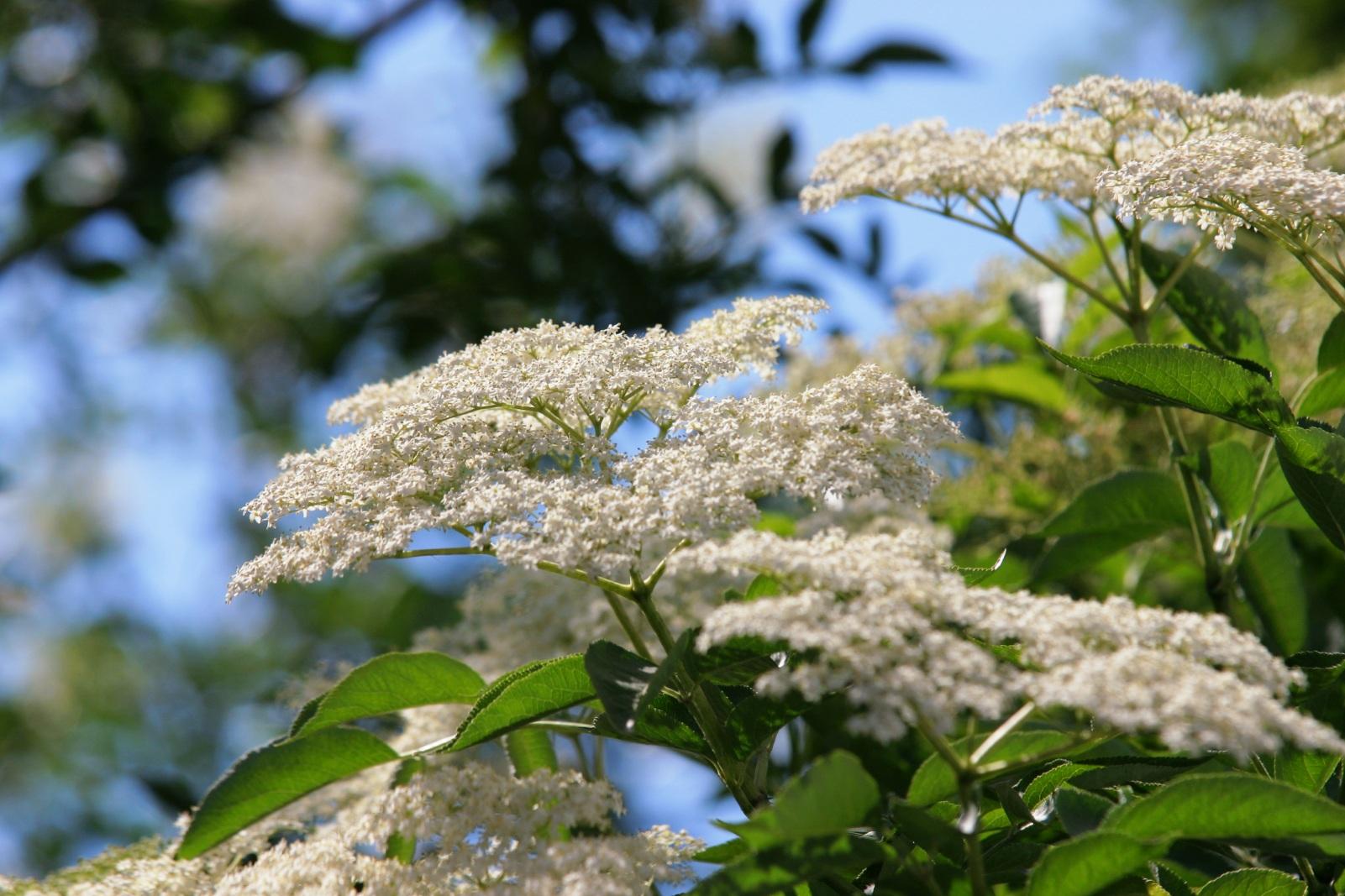 I bellissimi e profumatissimi fiori di sambuco