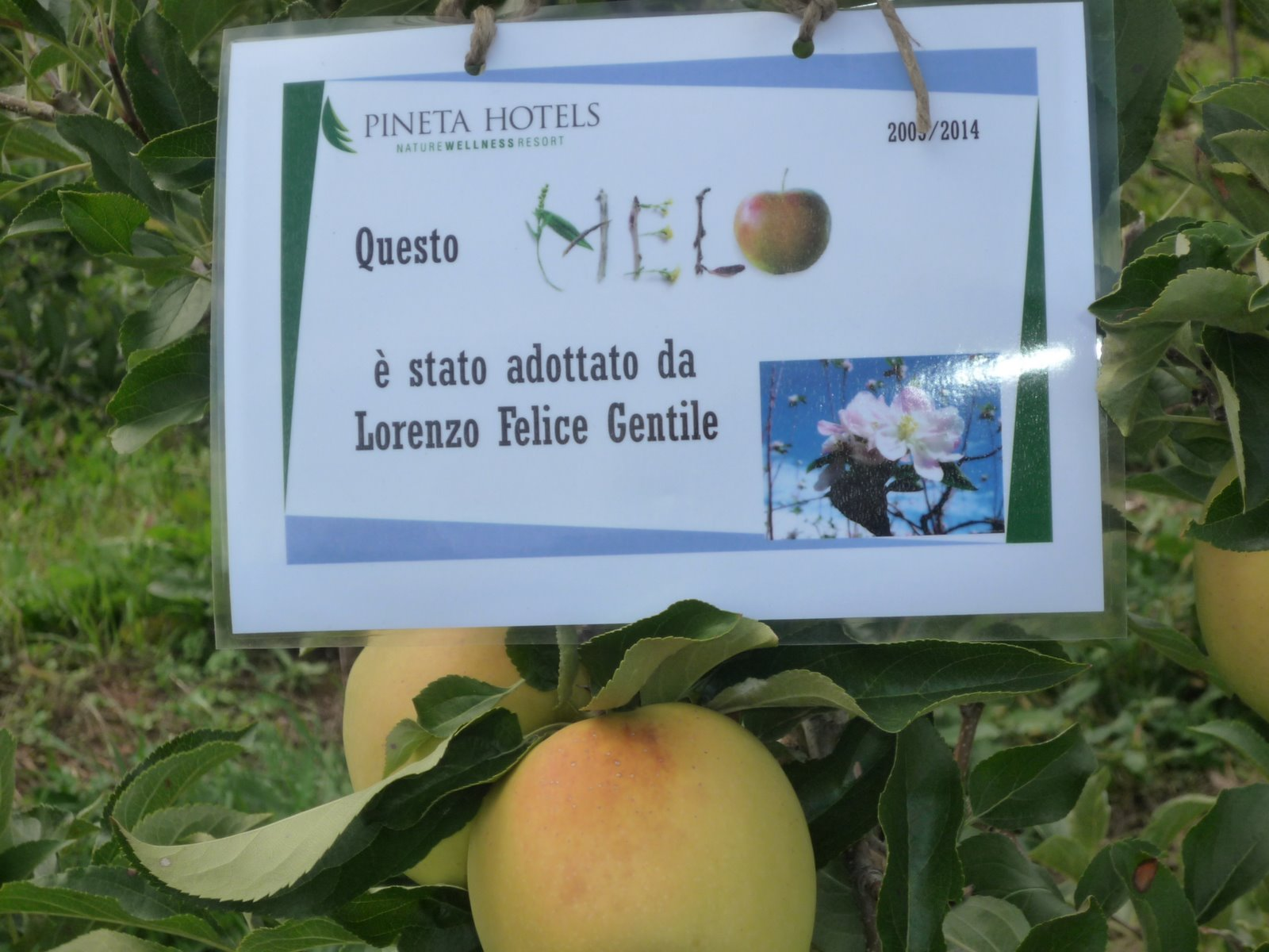 Il melo di Lorenzo, qui le tipiche mele Melinda con una fantastica rosetta.
