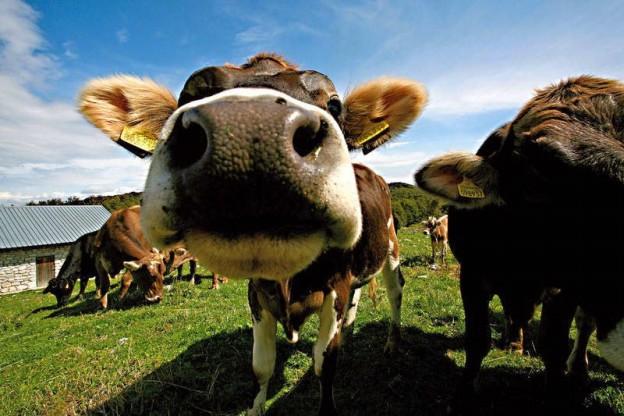 Per fare del buon formai dal mont servono delle belle mucche in Malga