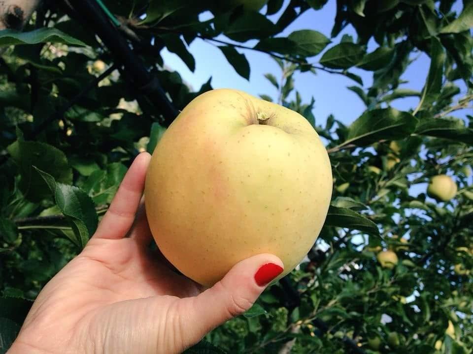 Prova il nostro menù degustazione con mela golden delicius, per la festa della mela: pomaria