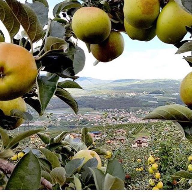 Per lo strudel di mele come non utilizzare le nostre mele Renetta del canada, se poi raccolte qui...