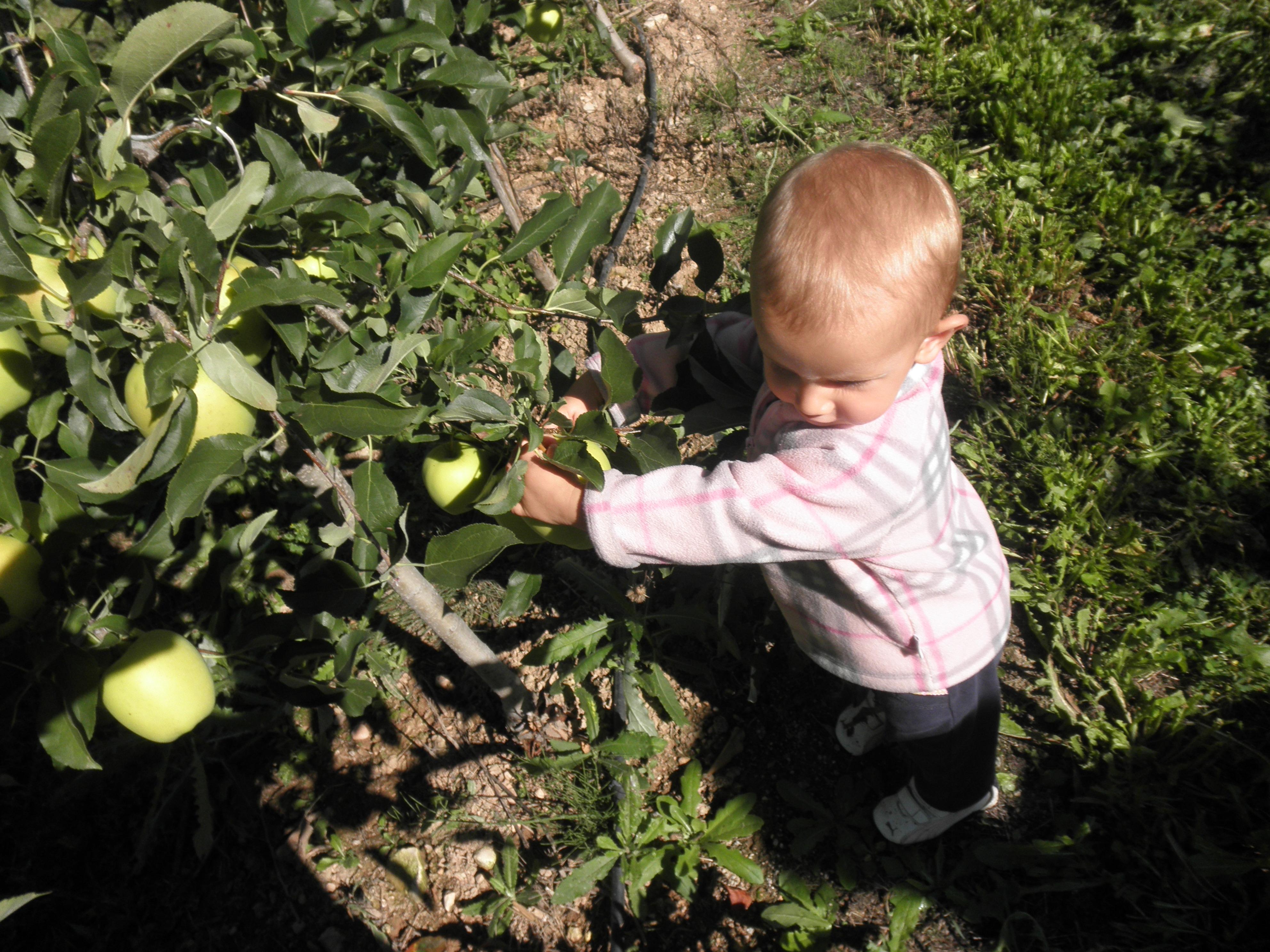 si colgono le mele nel nostro campo. Autunno family style
