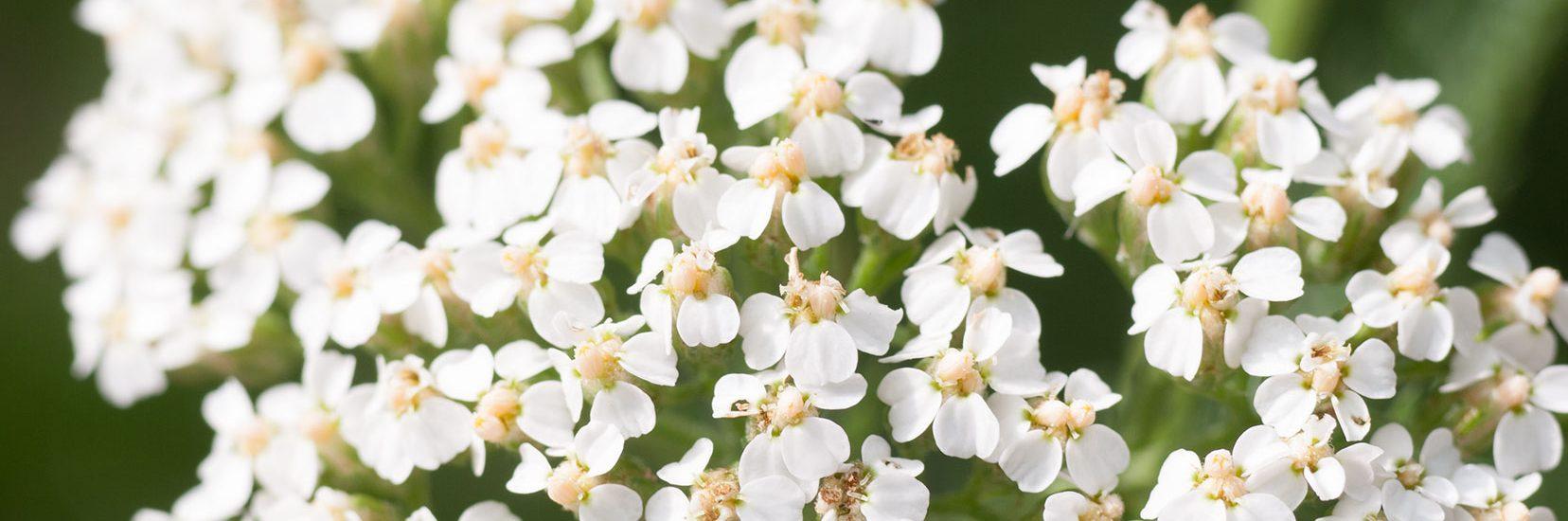 achillea-achillea-millefolium-foto-bianca