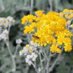 assenzio-pineta-orto-botanico