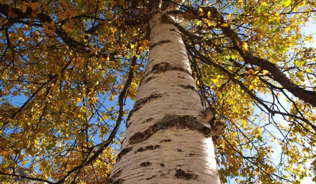 betulla-autunno-chioma