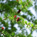 larice-gemme-pineta