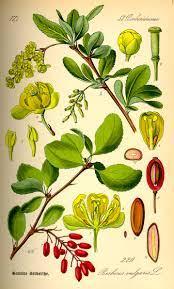 crespino-bacche-orto-botanico-pineta-disegno