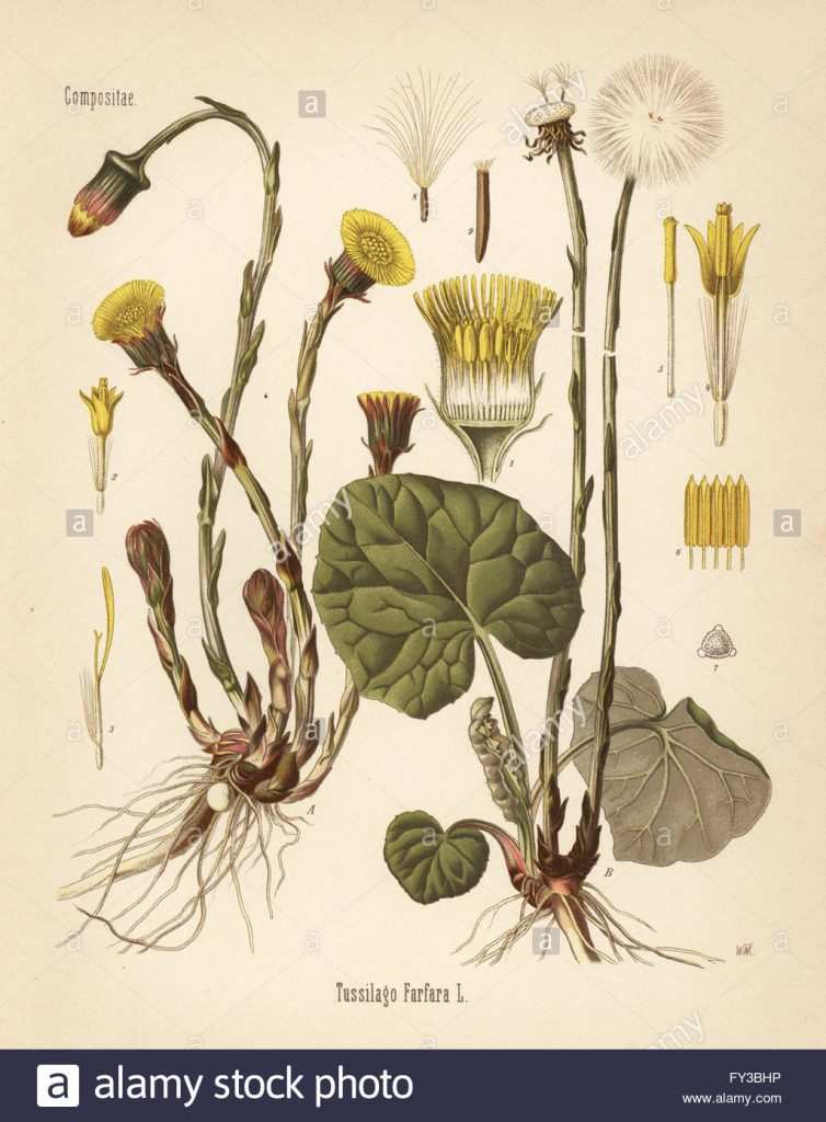 coltsfoot-tussilago-farfara-chromolithograph-dopo-una-illustrazione-botanica-da-hermann-adolph-della-koehler-piante-medicinali-edito-da-gustav-pabst-koehler-germania