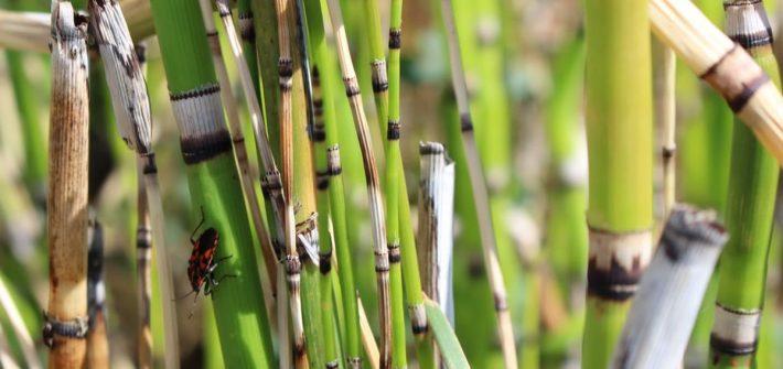 xEquisetum-arvense
