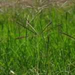 Cynodon_dactylon_trentino-erbe-giardino