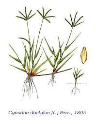 GRAMIGNA ROSSA (Cynodon dactylon) -1 -trentino