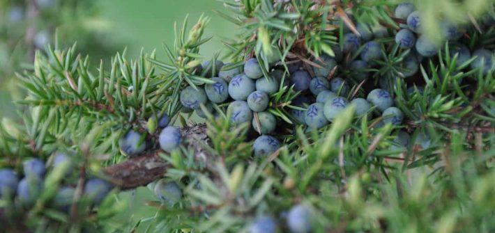 juniperusok-ginepro