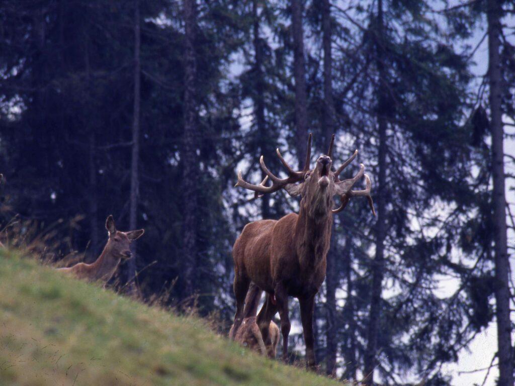 bramito-del-cervo-in-trentino-foto-corradini