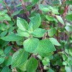 PARIETARIA-foglie-pineta-orto