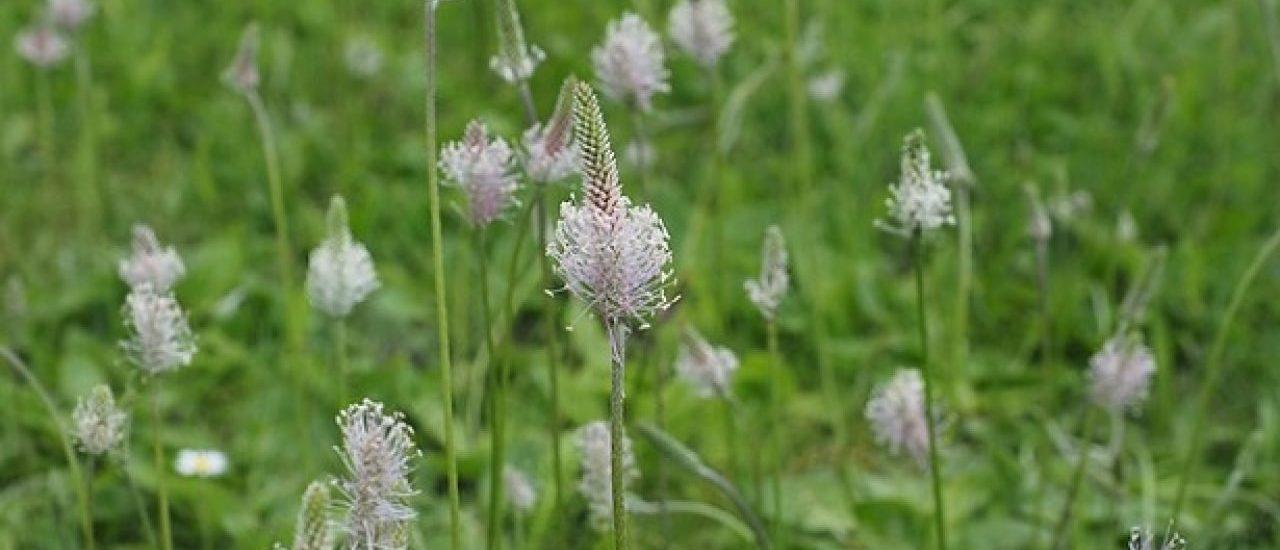 piantaggine-fiori-orto-pineta