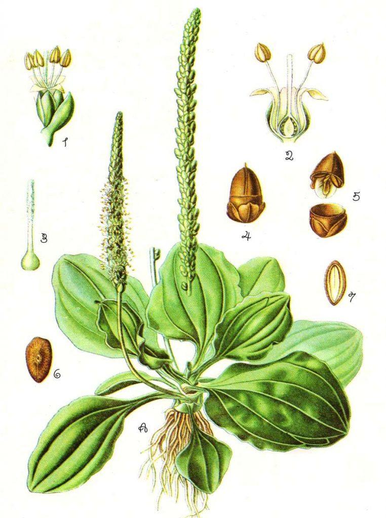 piantaggine-orto-pineta-nautra